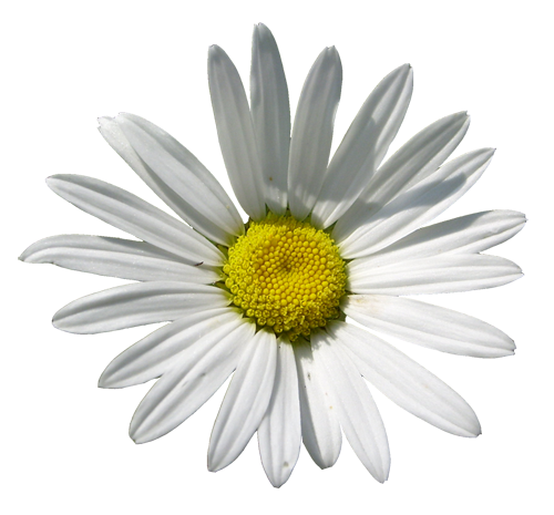 sunflower or daisy